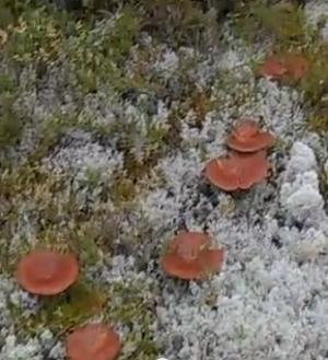 гриб горькушка