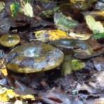 гриб черный груздь