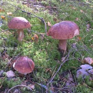 Белые грибы на полянке